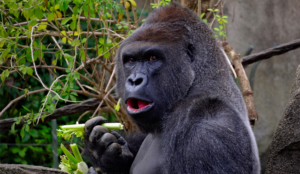 invisible gorilla test experiment inattentional blindness
